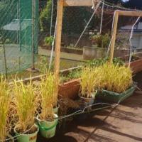 平成28年網代小学校古代米稲刈り学習。