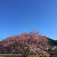 みなみ桜もうすぐ満開?