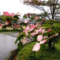 ここは何処? あいにくの雨!新芽や春の落ち葉と八重桜やハナミズキ!