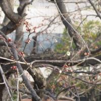 梅は咲いたが、桜はまだかいな