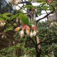 お庭に一輪だけ桜が咲いた(^-^)v