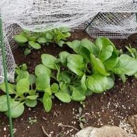家庭菜園日記2