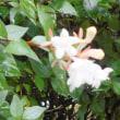 梅雨明けの花