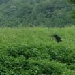 裏磐梯を歩く②ー雄国沼とクマ