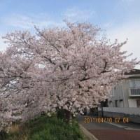 花暦   桜の花