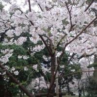 平和公園の桜はまだかいな~