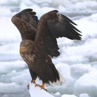 流氷の上で オジロワシ