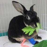 ウサギ専門診療科70 肝葉捻転