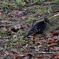 樹の根際で餌探し:オーストンオオアカゲラ