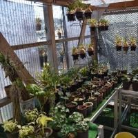東洋蘭山野草の新芽の季節