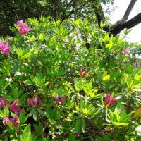 「核のごみ」迷走 原子力政策の破綻を象徴/「受け咲きオオヤマレンゲ」が咲いています。 コンロウバイ、久留米ツツジも。