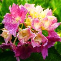 『紫陽花』 雨上り