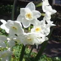 庭に咲いたタゼッタスイセン