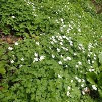 佐渡の花:石花登山道の平城畑までの道:登山道を埋め尽くすニリンソウの花