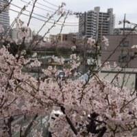 西口公園の桜が満開になりました (⌒∇⌒)
