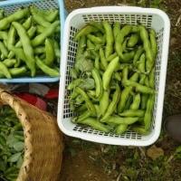 空豆と赤空豆