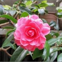 ピンクの八重の椿
