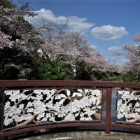 桜・さくら 2