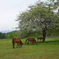 17年5/24~木曽馬の里~新緑