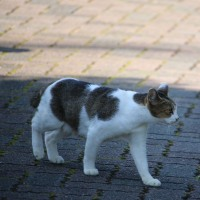 猫探訪・・只今横断中