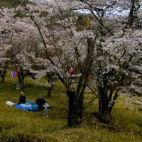 太田市菅塩沼の桜も満開だった。