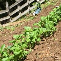 家庭菜園 ホーレン草