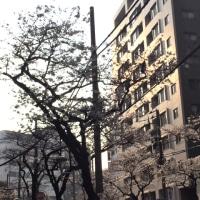 日暮里と桜の花