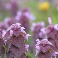 4月の花 ヒメオドリコソウ 2