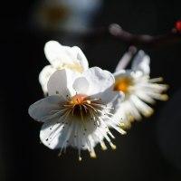 白梅 (花 4240)