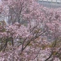 今年も江戸城の桜を歩く