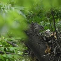 猛禽ツミ♀の子育て・可愛い雛の姿を・・・