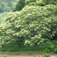 栗の木にも花が咲く