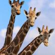 ◯ 3 girafves // ^^♪ あわててパシャり!