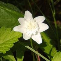 八重咲きイチゲ