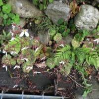 野に咲く春の可憐な花   ユキノシタ