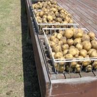 ―今年のジャガイモの収穫―