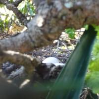 気がかりな鳩の産卵
