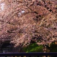 愛知県岩倉市五条川のさくら
