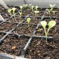 トマトとレタスたちの苗