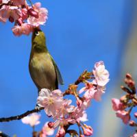 河津桜とメジロなど