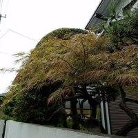 梅雨,日本