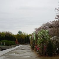 大阪城公園の桜2017