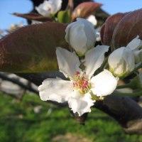 梨の花のようす