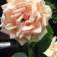 最後の春の薔薇