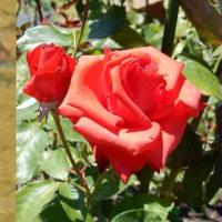薔薇と蜻蛉の日