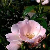 古いバラも、新しいばらも。