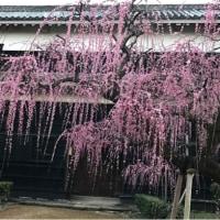 高知城の枝垂れ梅