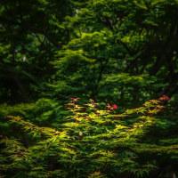 五月の紅葉