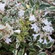 アベリア 斑入り葉 Abelia Variegata