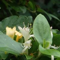 キンギンボクの花